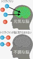 トリプトファンと脳